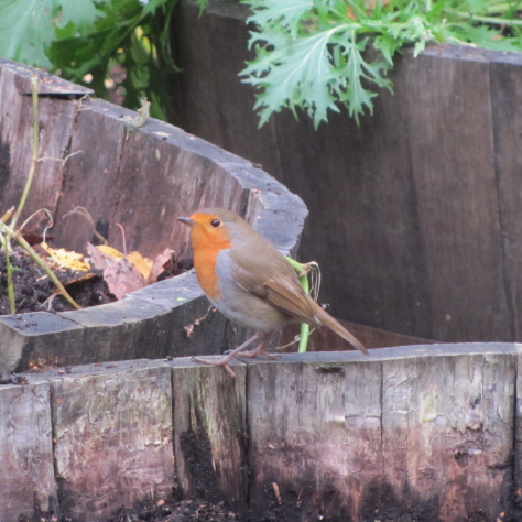 We didn't see this guy at the Dawn Chorus this year, but he's pecking around the Gardens so often he's practically staff!