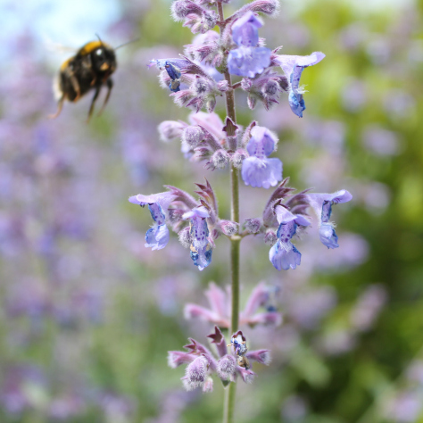 bee at the herb border