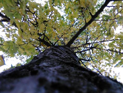 141121 ginkgo tree