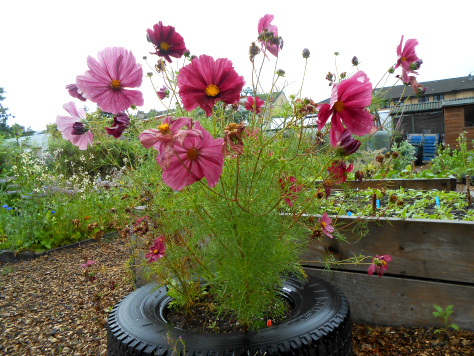 Some beautiful cosmos blooms sprouting from a tyre