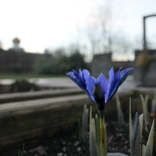One of our dwarf irises has flowered in our planters on the patio