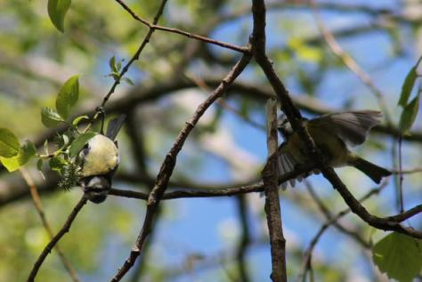 Great photo of some blue tits in the willow by Lesley McCue, volunteer and photographer extraordinaire!
