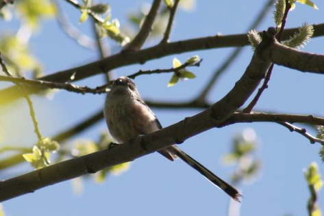 Here's a long tailed tit taken by Lesley.