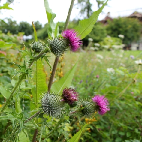 Thistles in the meadow area at The Hidden Gardens