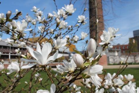 April Magnolia (1)